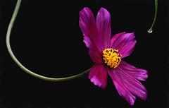 Doing the Twist (charhedman) Tags: black flower macro dancing twist twirl cosmos