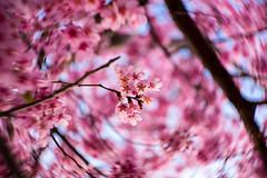 @青山霊園 (mijabi) Tags: japan tokyo lomography bokeh 桜 cherryblossom 日本 東京 aoyama 58mm 19 guruguru 山桜 青山 青山霊園 ぐるぐる petzval newpetzval