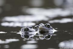 DN9A7147 (Josette Veltman) Tags: blue blauw frog heide kikker