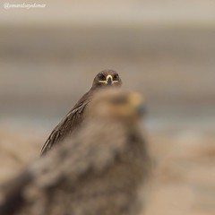 Steppe Eagle ... عقاب البادي