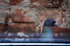 Pigeon Neighbour (nicolas kuecken) Tags: pigeon taube