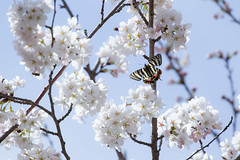 Luehdorfia japonica (kenta_sawada6469) Tags: flowers trees plants white plant flower macro tree nature colors japan butterfly bug insect cherry japanese spring wildlife butterflies insects bugs lepidoptera cherryblossom sakura papilionidae japaneseluehdorfia