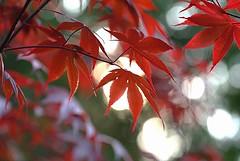 New maple leaves (JPShen) Tags: new light leaves leaf maple soft bokeh