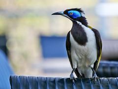 Blue headed Honeyeater (stormgirl1960) Tags: blue bird breakfast nationalpark do wildlife katherine australia honeyeater to outback headed northernterritory feathered nitmiluk pandanus sociable