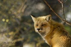 Renard roux, Red Fox (Claudette Archambault) Tags: redfox renardroux