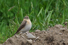 Campagne d'Oust (Arige) (PierreG_09) Tags: oiseau oust pyrnes pirineos faune arige oenantheoenanthe northernwheatear collalbagris steinschmtzer traquetmotteux couserans campagnedoust