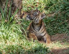 Little Debbie (ToddLahman) Tags: baby canon teddy tiger tigers sumatrantiger joanne safaripark escondido canon100400 tigercub babytiger tigertrail sandiegozoosafaripark babysumatrantiger canon7dmkii