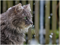 Come back, Spring ! (FocusPocus Photography) Tags: pet animal cat chat gato katze haustier kater tier fynn fynnegan