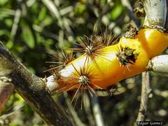 CACTACEAE Pereskiopsis porteri (egamezduarte) Tags: méxico forest bosque cactaceae thorn sinaloa espinoso altata pereskiopsis porteri navolato