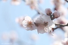 Plum Flower (Arista.C) Tags: photography tokyo plumtree photooftheday plumflower hanegipark 2016