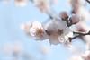 Plum Flower (Arista.C) Tags: photography tokyo plumtree photooftheday plumflower hanegipark 2016