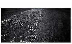 Vegetationsnische (Bernd Kretzer) Tags: abstract blackwhite nikon struktur structure dandelion 1855mm schwarzweiss afs abstrakt dx lwenzahn zoomnikkor 13556g