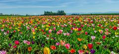 Tulip Panorama (sandyb49) Tags: panorama mt tulips hood multicolored woodenshoetulipfestival sandybohlken