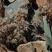 mountain phacelia, Phacelia hastata var. compacta