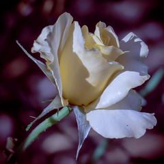 Amandine (Jack o' Lantern) Tags: roses flower rose amandine masterphotos
