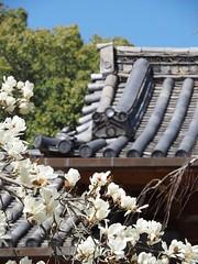 Spring fever in Nara (M_Strasser) Tags: flowers japan blossoms blumen olympus magnolia nara blten magnolien olympusomdem1