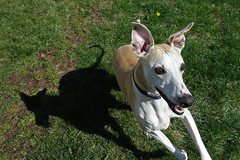 Silly Side (DiamondBonz) Tags: dog pet ball play hound ears whippet spanky