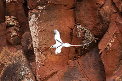White-Tailed Tropicbird. (nevadoyerupaja) Tags: ocean sea cliff usa white bird beach outdoors hawaii flying spring nikon pacific flight shore kauai tropic tropics tailed whitetailedtropicbird