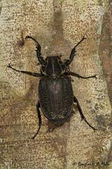Inca clathrata (Scarabaeidae: Cetoniinae) (douglashamelo) Tags: forest beetles besouro cetoniinae