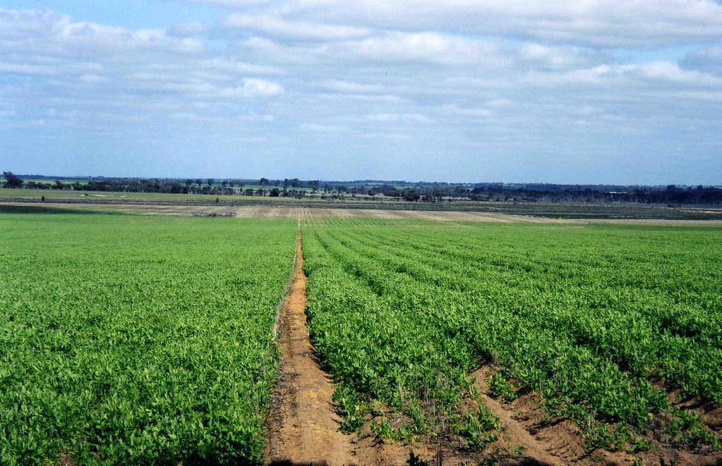 cánh đồng dâu xanh