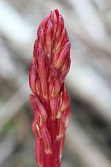 Spotted Coralroot Prebloom (corey.raimond) Tags: red plant orchid flower washington spring orchidaceae orcasisland washingtonstate coralroot corallorhizamaculata prebloom