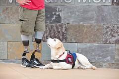 Justce, a Patriot Paws Service Dog (Ollie girl) Tags: dog feet labrador artificial service veteran patriotpaws