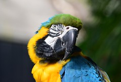 Macaw @ Bloedel Conservatory, Vancouver (careth@2012) Tags: portrait eye nature closeup wildlife ngc beak feathers parrot macaw bloedelconservatory
