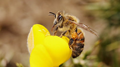 Honey Bee (jaytee27) Tags: honeybee naturethroughthelens earthnaturelife