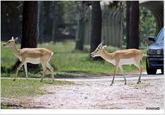 A Couple of Deer (AmeliaPhotoAme) Tags: fish nature birds monkey woodpecker turtle snake flamingo lion deer ostrich safari zebra cameo giraffe chimpanzee vulture macaw lizzard lioncountrysafari