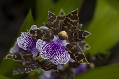 Orchid - Orqudea (Rogrio_RJ) Tags: flowers flores orchids orqudeas rara canon100mm28lmacro