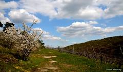 Links Orchideenland u. rechts Weinland=Ein kleines Paradies (diwe39) Tags: weinberg blten klotz frhling2016