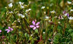 Weinbergsflora (diwe39) Tags: weinberg klotz frhling2016