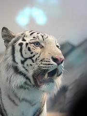 16018 (simao2) Tags: tiger whitetiger    expocity  nifrel