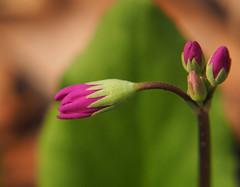 Wildflower05a (swaneerivermn) Tags: spring purple bud wildflower shootingstar macrodreams