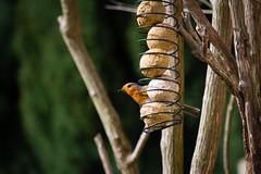 Birdwatching (Sally Dunford) Tags: robin birdwatching robinredbreast gardenbirds canon70200mm britishbird canon7d sallyapril2016