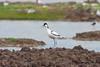 avocette à nuque noire (TATIUMZI) Tags: france eau sony tokina marais oiseaux sudouest aquitaine gironde leteich sonyalpha tokina30028 sonyalpha700