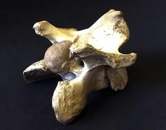 Ox vertebrae, 1891 (sherborneschoolarchives) Tags: 1954 frozenlake vertebrae 1891 oxbone sherbornecastle oxroast sherborneschoolarchives sherbornedorsetuk williampragnell edwardpragnell