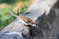 House Sparrow (Vinchel) Tags: bird nature animal canon is outdoor wildlife vietnam ii chi l usm ho minh f28 400mm 1dx