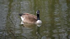 """Der """"neue"""" Schieder See 2016_04_15 (DeeDee Pix) Tags: wild lake water river see stream wasser artificial goose gans reservoir damm fluss emmer stausee 2016 deedeepix wildgans schieder umflut"""