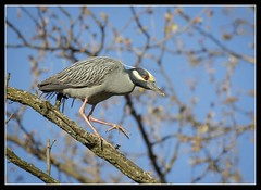 YCHN Strut... (DTT67) Tags: nature birds canon wildlife maryland baltimore nationalgeographic yellowcrownednightheron ycnh 7dmkii 100400mkii