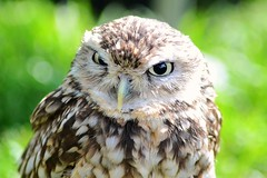 Hoo are you looking at (SharDan2) Tags: birds nikon small ngc feathers birdsofprey littleowl
