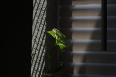 Pothos in the afternoon. (trins) Tags: plant texture shadows houseplant pentax blinds dslr afternoonlight pothos pentaxkx linesandshadows pothosintheafternoon