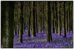 Bluebells Dockey Wood Ashridge (Stephen Braund) Tags: nature natur nationaltrust bluebell yourbestoftoday dockeywoods