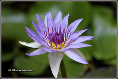 water lily (chandrasekaran a 32 lakhs views Thanks to all) Tags: india nature car waterlily lily chennai tamron90mm homegarden