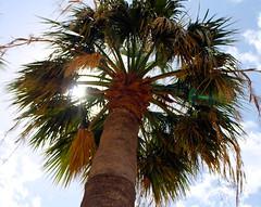 Stark und frei (hacky_Am) Tags: tree palmiye palme baum agac