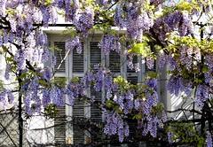 glycine (2) (b.four) Tags: persiana shutter wisteria saintpauldevence alpesmaritimes glycine volet glicina ruby10 ruby5