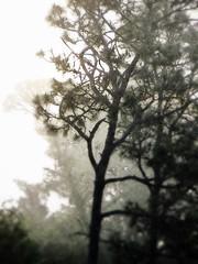 gnarly (Jo Borlan) Tags: morning trees mist fog pines