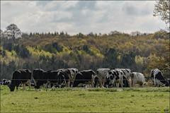 Calke Abbey 300mm PF f4 Test Shots - 160430 - 667 (i-Tony) Tags: test abbey ed nikon cows 300mm d750 nikkor nationaltrust vr afs pf f4e calke