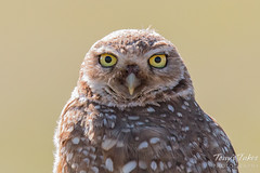 Burrowing Owl. Adams County, Colorado.