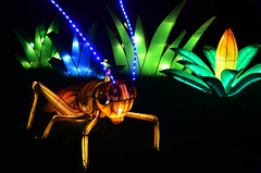 Cricket Lanterns (pokoroto) Tags: autumn canada calgary night zoo october cricket alberta lanterns 10 2015     kannazuki   themonthwhentherearenogods 27